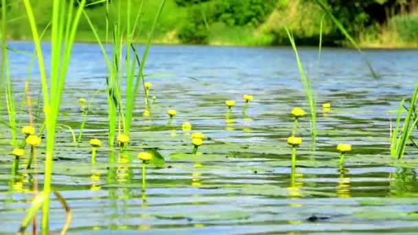 Leknín květiny na rybníku