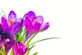 First spring flowers irises
