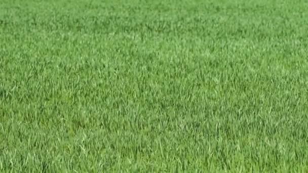 svěží zelené trávy ve větru