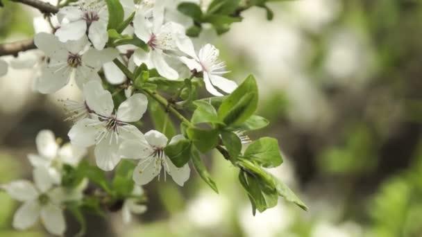 Krásný jarní květiny - Cherry Blossom