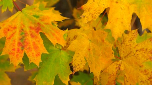 podzimní Javorové listy close-up