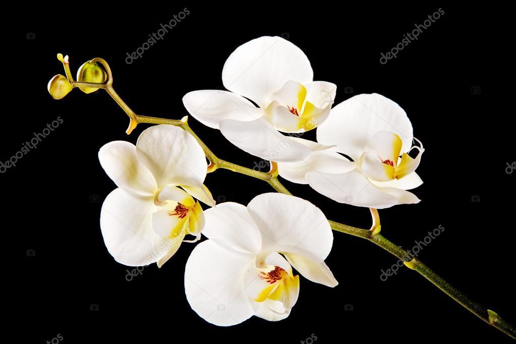 weiße Orchidee mit gelben Zentrum — Stockfoto © piotr_marcinski ...