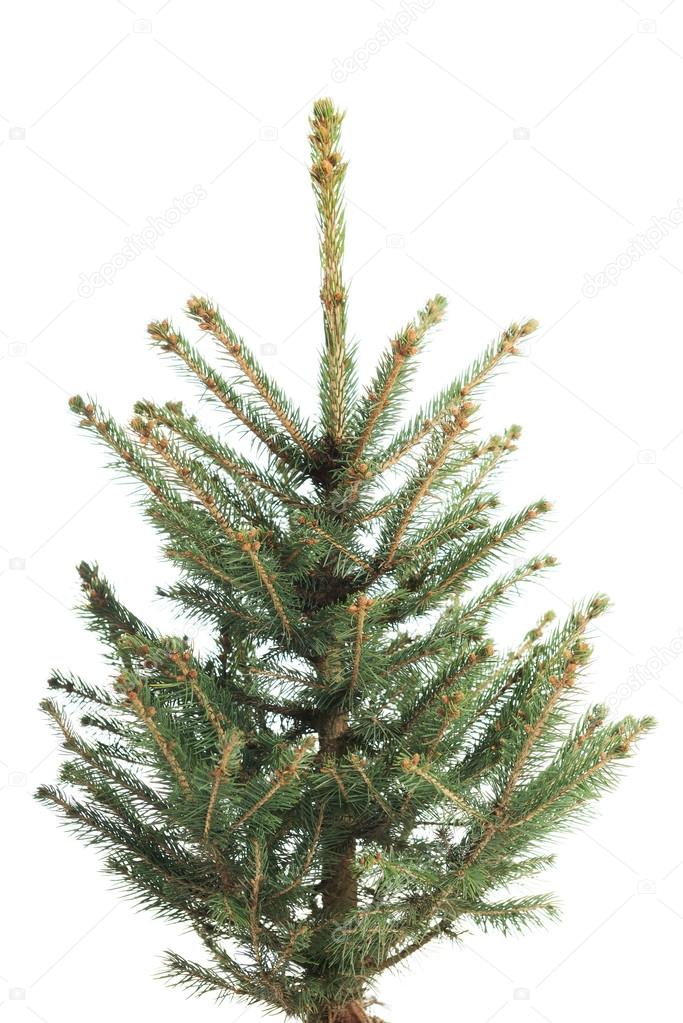 Small, real undecorated bare Christmas tree — Stock Photo ...