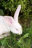 Coniglietto bianco in erba.