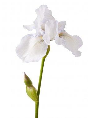 Flower of white iris on a white background stock vector