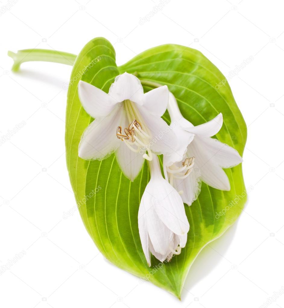 White Hosta Flower Stock Photo Multik 122301646