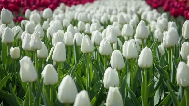 Campo con i tulipani di fioritura