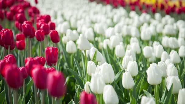 krásné kvetoucí tulipány