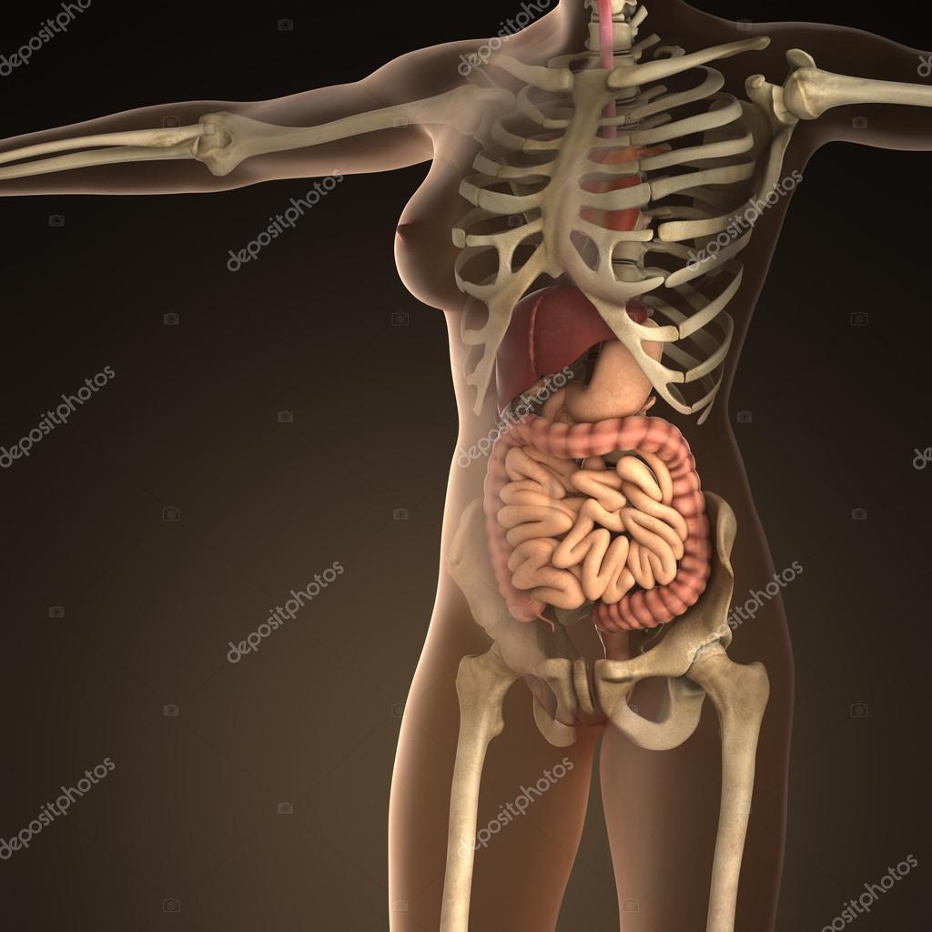 Anatomía de los órganos humanos con huesos de cuerpo transparente ...