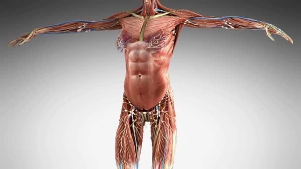 Věda záběry plné tělo anatomie