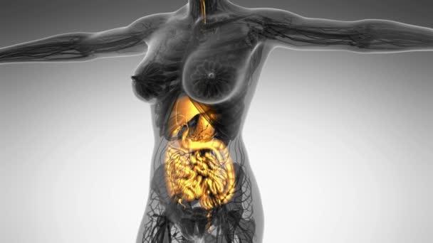 vědy anatomie lidského těla v x-ray s záře trávicí systém