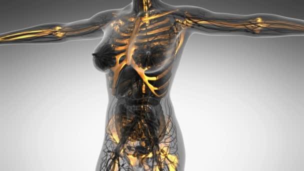 vědy anatomie lidského těla v x-ray s záře kostru skeletu
