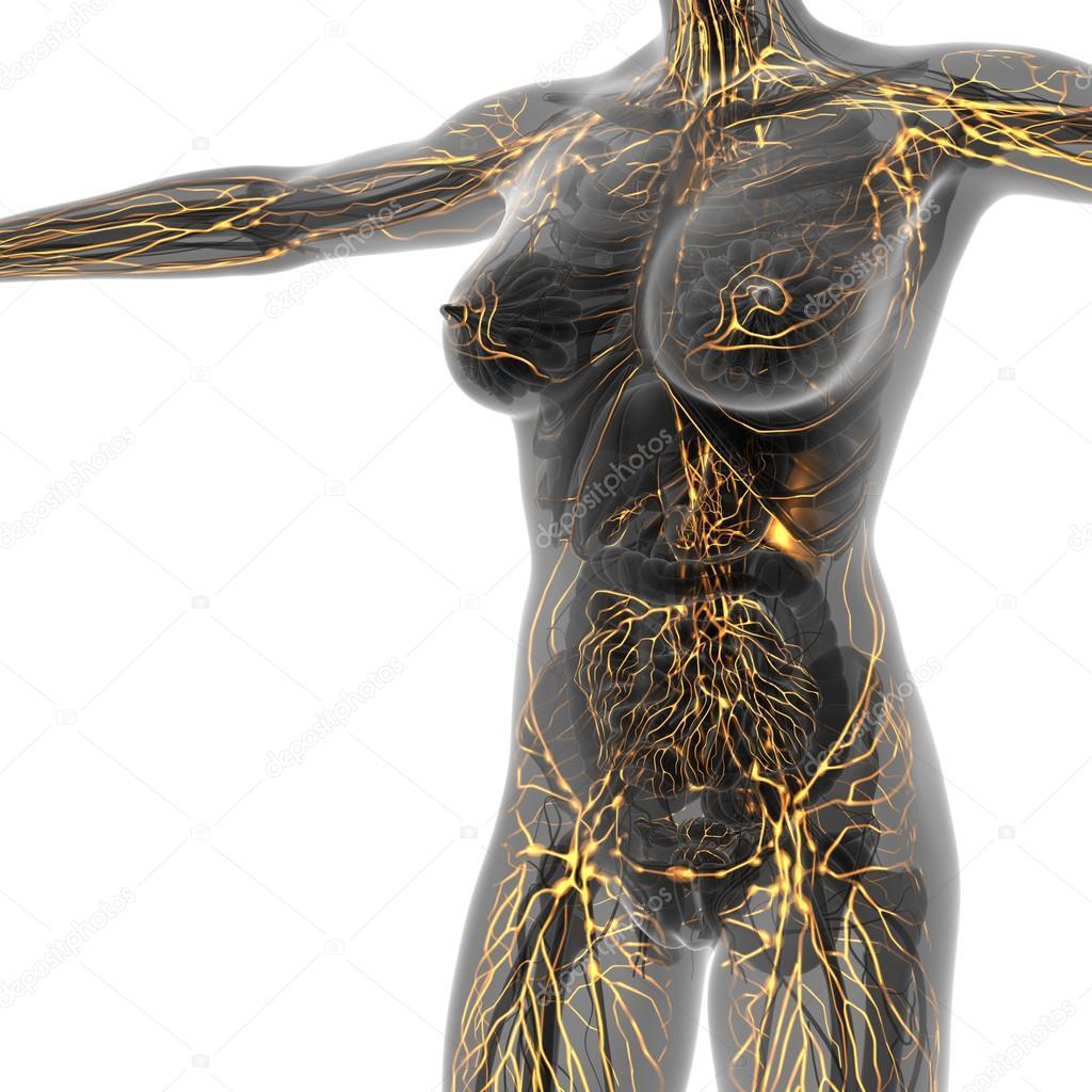 Sistema linfático humano con huesos en el cuerpo transparente — Foto ...