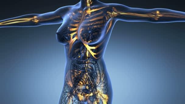 vědy anatomie lidského těla v x-ray s záře skelet kosti na modrém pozadí