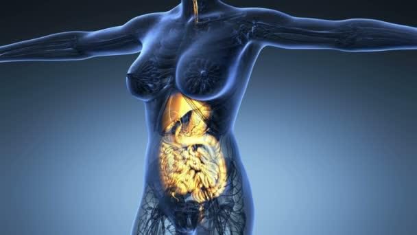 vědy anatomie lidského těla v x-ray s záře trávicí soustavy na modrém pozadí