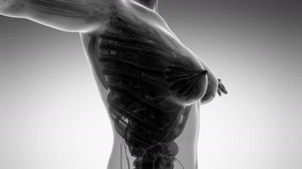 smyčky vědy anatomie lidského těla v x-ray se všemi orgány