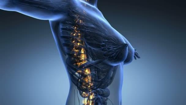 smyčky vědy anatomie lidského těla v x-ray s kosti páteře záře