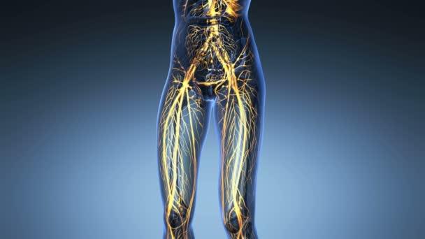 vědy anatomie lidského těla v x-ray s záře cév