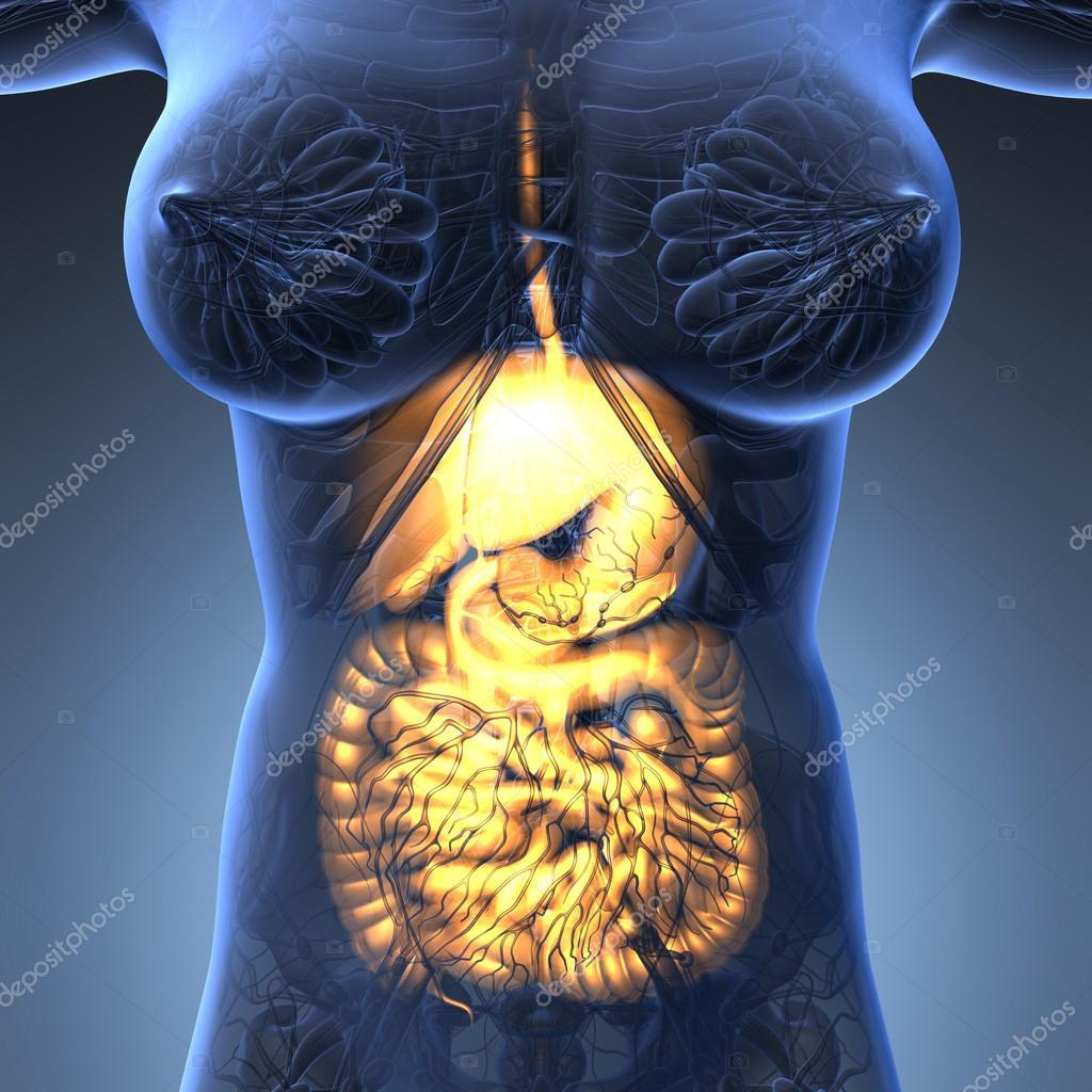 Science Anatomy Of Woman Body With Glow Digestive System Stock
