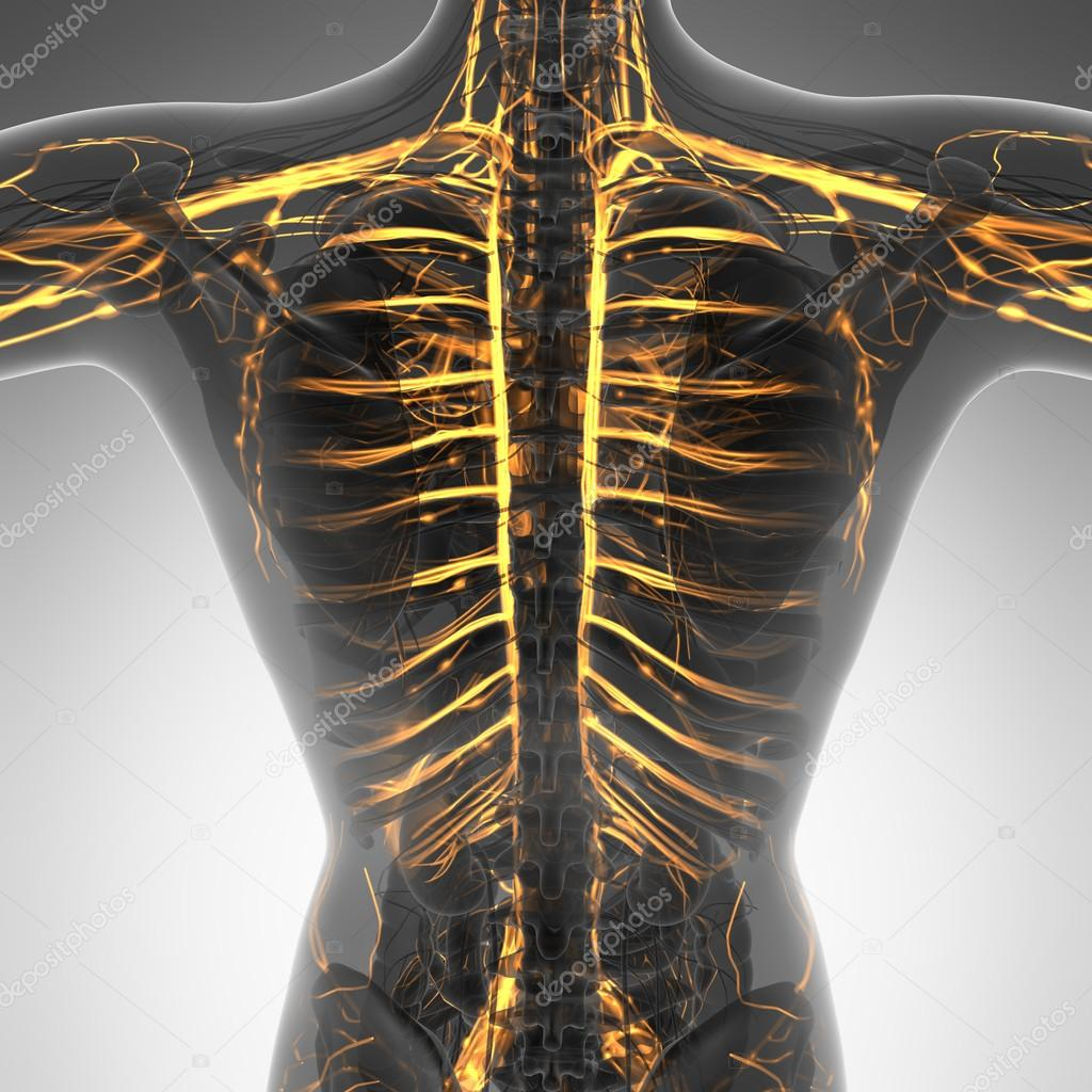 Wissenschaft-Anatomie des menschlichen Körpers im Röntgen mit glow ...