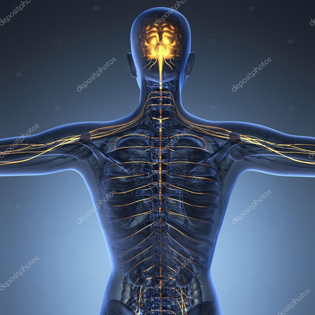 science anatomy of human brain in x-ray — Stock Photo © icetray ...
