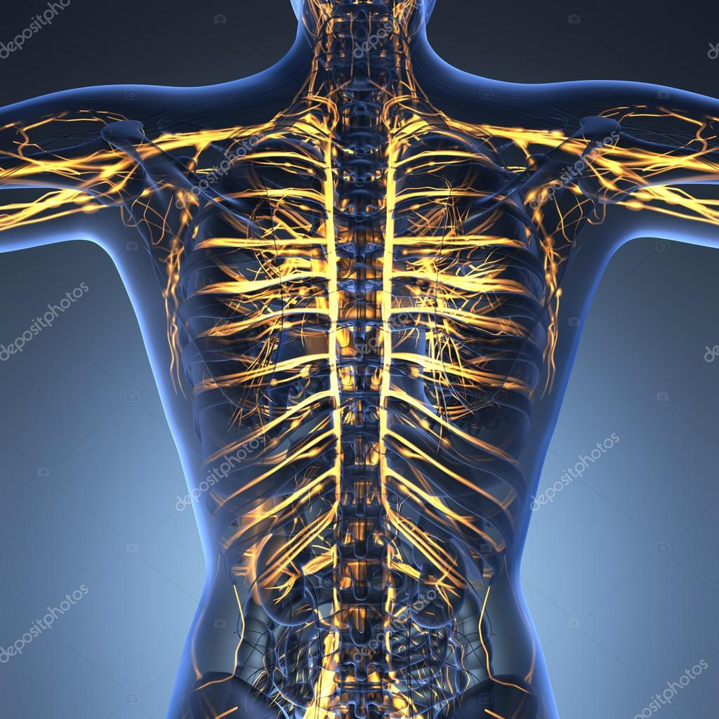 Anatomía de la ciencia del cuerpo humano en rayos x con los vasos ...