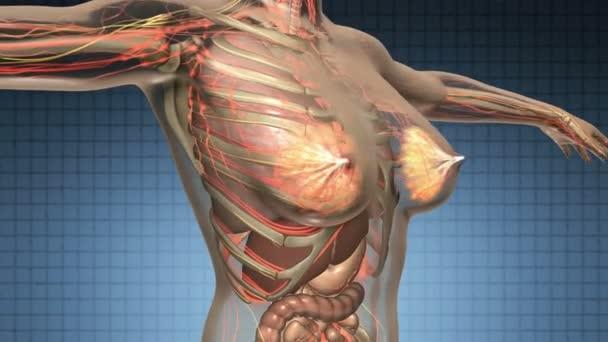 Scan De L Anatomie De Science Du Corps Humain Avec Les Organes