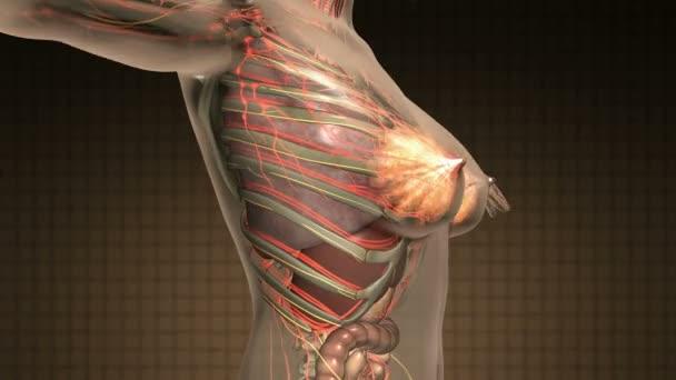 kroppens anatomi inre organ