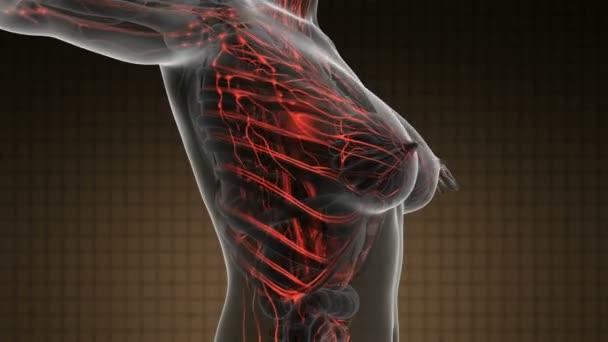 Anatomía de la ciencia la exploración del cuerpo humano con vasos ...