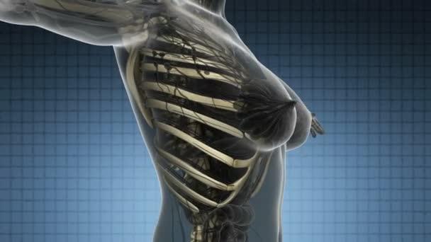 exploración de la ciencia anatomía del cuerpo humano con huesos ...