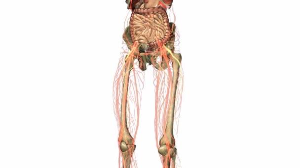 Wissenschaft-Anatomie-Scan des menschlichen Körperorgane und Knochen ...