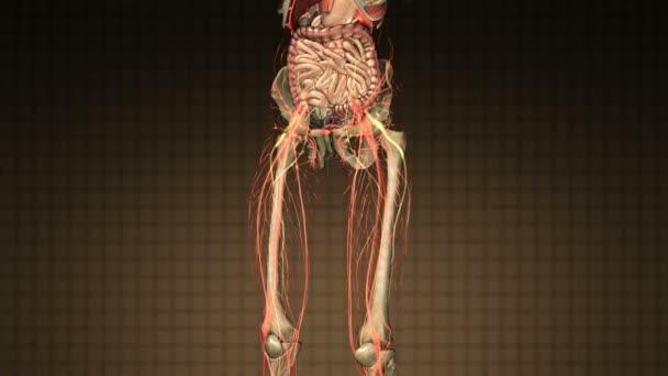 science anatomy scan of human body organs and bones