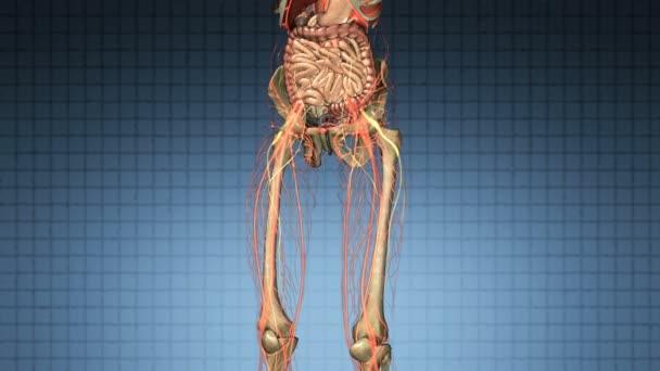 Anatomia di scienza di ossa e organi del corpo umano