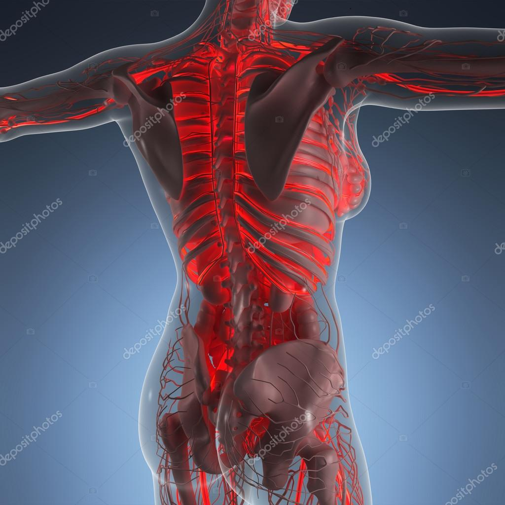 science anatomy of human body in x-ray with glow blood vessels ...