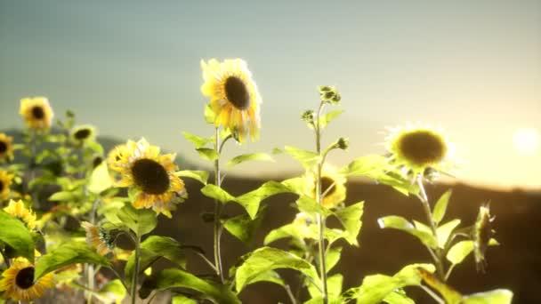 Slunečnicové pole za teplého letního večera