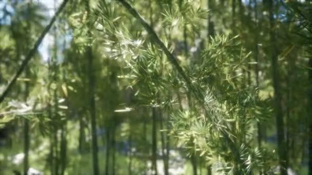 8K Windy Tranquil Arashiyama Bamboo Grove