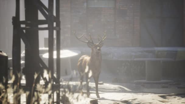 Vadon élő szarvasok laknak az utcákon egy elhagyatott városban.