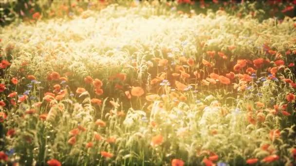 vadon termő mezei virágok a nyári naplementében