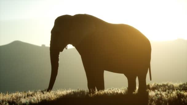 starý africký slon kráčí v savaně proti západu slunce
