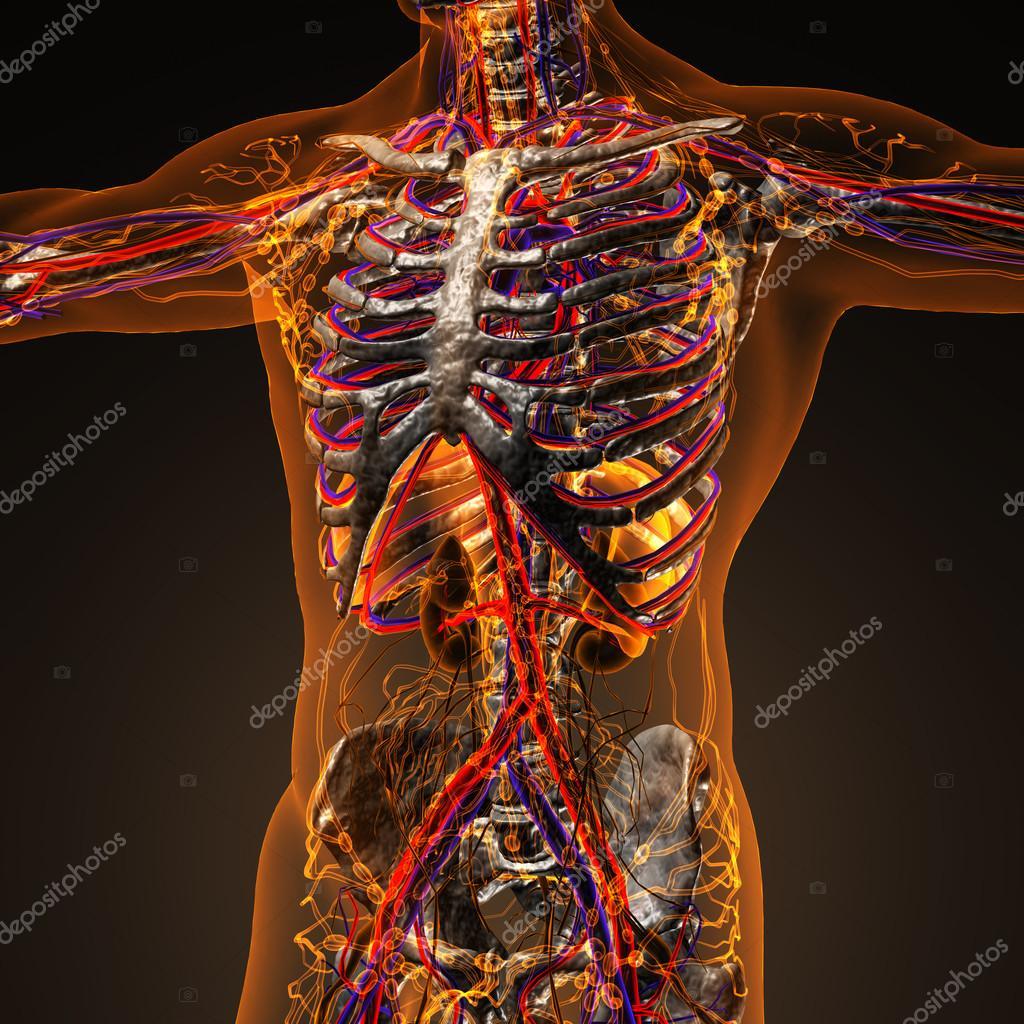 Sistema cardiovascular humano circulación con huesos de transparen ...