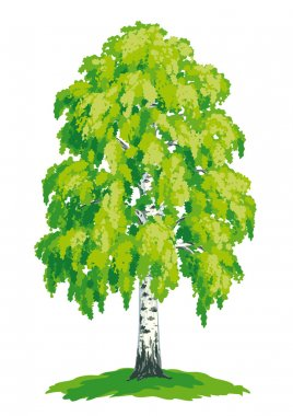 vector drawing of birch