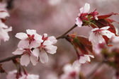 Photo Pink cherry blossoms in garden outdoors close up