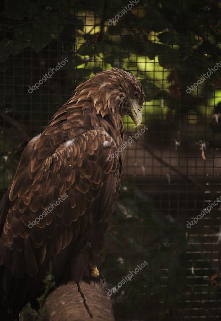 Sitting eagle portrait