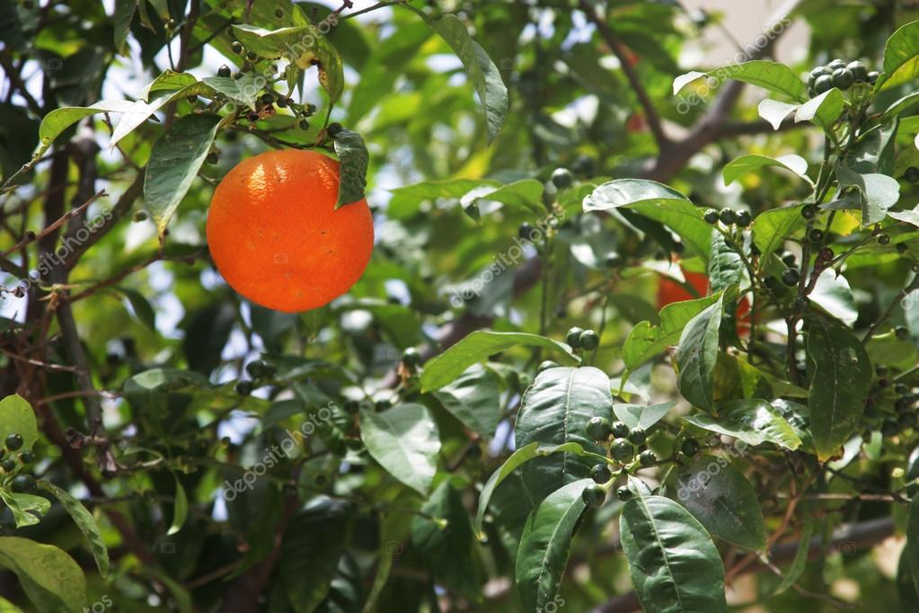 orange tree, summer day