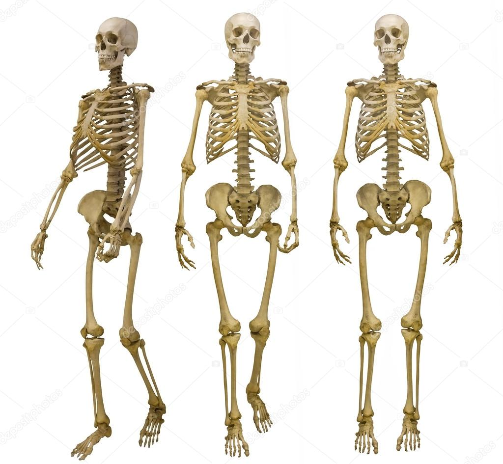 Human Skeletons Stock Photo Drs 55500489