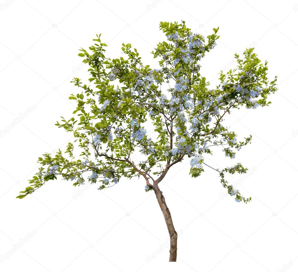 Small Tree With Blue Flowers Stock Photo 55501171
