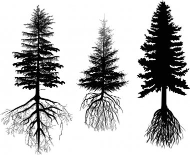 firs with roots