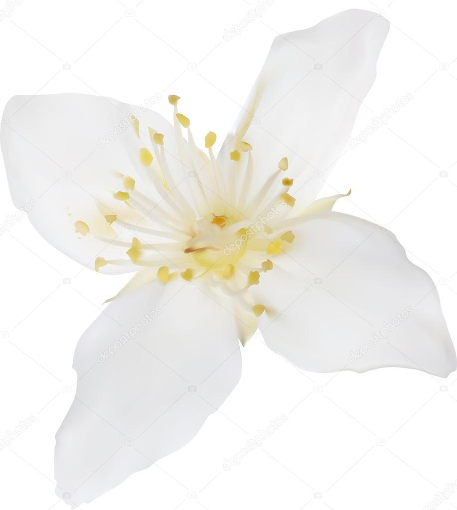 Jasmine Flower Stock Vector Drs 55585809