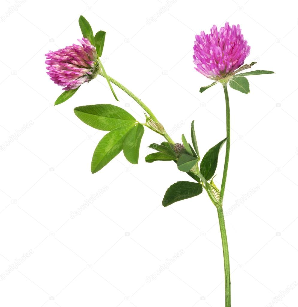 Purple Clover Flowers Stock Photo Drs 84194346