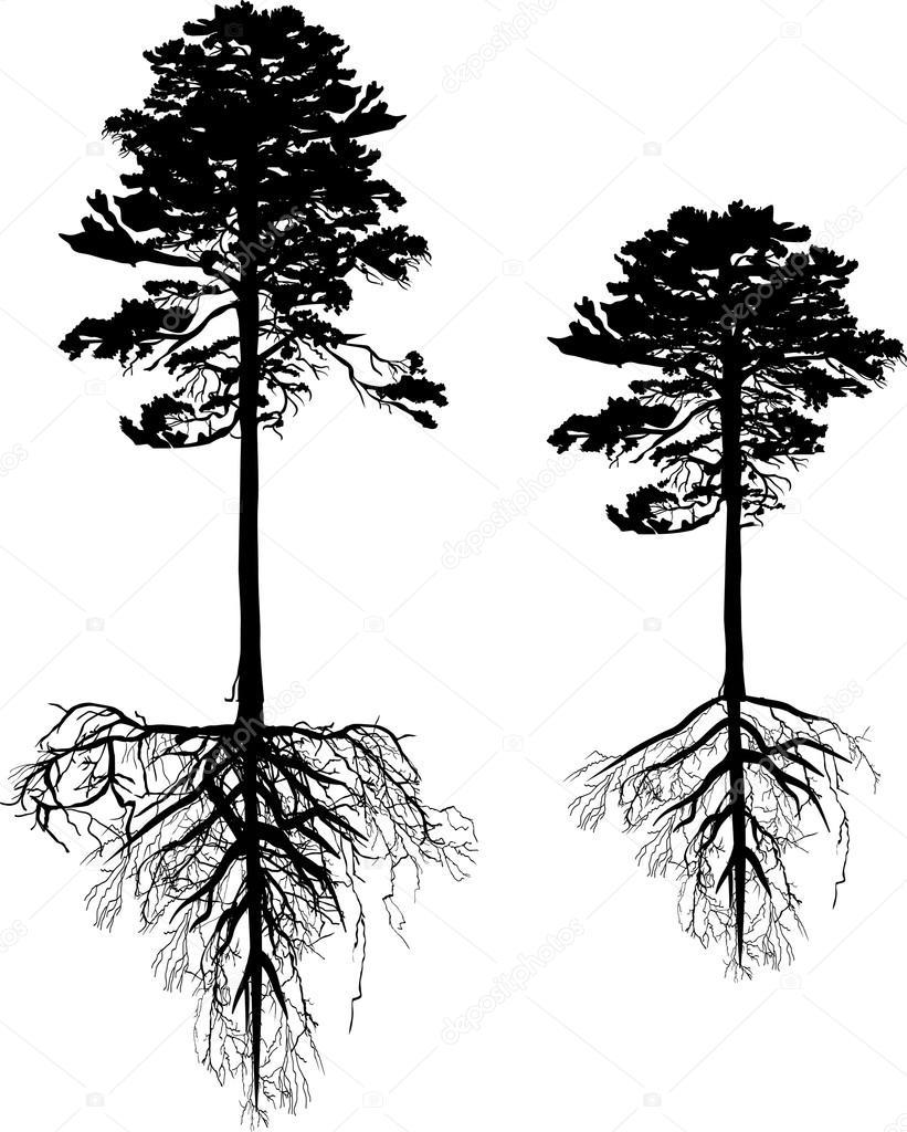 Stock Vector Dr Pas 6261329: Siluetas De árboles De Pino